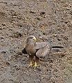 Yellow-billed Kite (Milvus parasitus) (32323575466).jpg