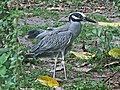 Yellow-crowned Night Heron SMTC.jpg