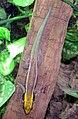 Yellow-headed.day.gecko.arp.jpg
