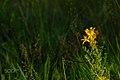 Yellow Flower (134884189).jpeg
