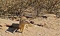 Yellow Mongoose (Cynictis penicillata) (6530431645).jpg