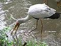 Yellow billed stork (7856523664).jpg