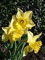 Yellow daffodil flower.jpg