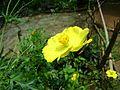 Yellow flowers of kerala7.jpg