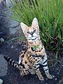 Young Serval.jpg