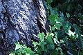 ZIMG 2674-Notholithocarpus densiflorus.jpg