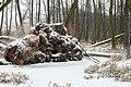 Zakole Wawerskie w Warszawie, las olchowy zimą 002.jpg