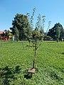 Zalaegerszeg memorial tree, Vizslapark, 2020 Zalaegerszeg.jpg