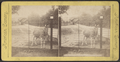 Zebra, from Robert N. Dennis collection of stereoscopic views.png