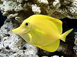 Zebrasoma flavescens taxo.jpg