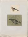 Zenaida meloda - 1700-1880 - Print - Iconographia Zoologica - Special Collections University of Amsterdam - UBA01 IZ15600209.tif
