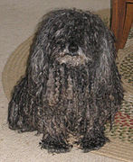 Ziggy the Puli (cropped).jpg