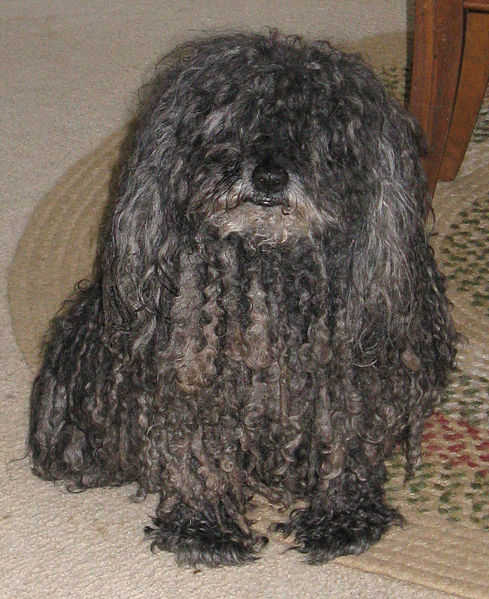 Cord Like Fur Herding Dog Juno
