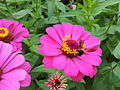 Zinnia from Lalbagh Flowershow - August 2012 101257.jpg