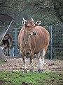 Zoo de Lunaret - Banteng - P1600316.jpg