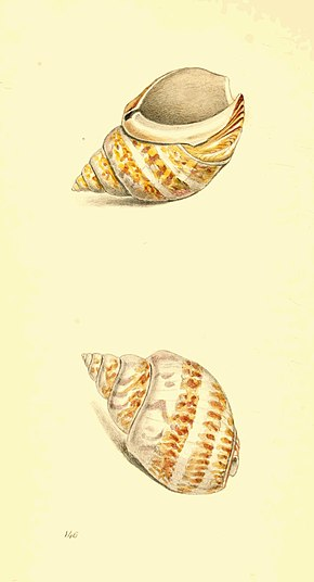 Zoological Illustrations Volume III Plate 146.jpg