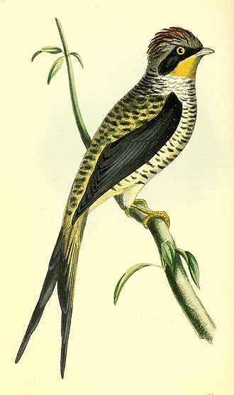 Zoological Illustrations Volume I Plate 31.jpg