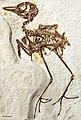 Zygodactylus FMNH PA 726 - Smith et al 2018.jpg