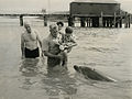 """Opo"" (Known as ""Opo Jack""), the celebrity dolphin of Opononi, entertains visitors in 1956 (16260412919).jpg"
