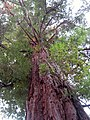 """""""Sua Altezza""""Sequoia - panoramio.jpg"""