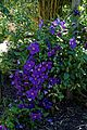 'Clematis Viola' in the Walled Garden at Parham House West Sussex England.jpg