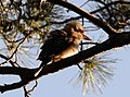 (1)Centennial Park kookaburra-96.jpg