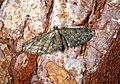(1812) Maple Pug (Eupithecia inturbata) (29424595285).jpg