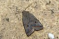 (2263) Red-line Quaker (Agrochola lota) (3997204799).jpg