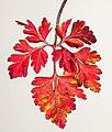 (MHNT) Geranium robertianum - xanthophyll leaf.jpg