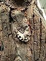 «Перунів дуб» - священе дерево дохристиянського часу з вмонтованою щелепою свині.jpg