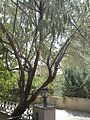 İğde Tree - ELEAGNUS ANGUSTIFOLIA - gelincikgizi - panoramio.jpg