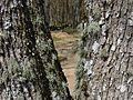 Ķurbes kapi liepu žāklē, Dundagas pagasts, Dundagas novads, Latvia - panoramio.jpg