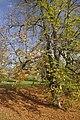 Žampach, dolní zámecký park, strom.jpg
