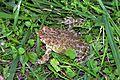 Βάτραχος - panoramio.jpg