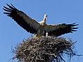 Аист садится в гнездо с птенцами.jpg