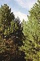 Бор, Национален Парк Пелистер 2015.jpg