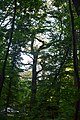 Група вікових дерев дуба DSC 0669.jpg