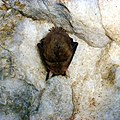 """Летучая мышь. Пещера """"Подарок"""", Оренбургская область - panoramio.jpg"""
