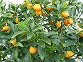 Нагами Кумкват (Fortunella margarita).JPG