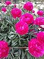 Розовые Пионы.jpg