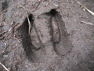 Chamois - Footprint at Rila National Park, Bulgaria, 2014