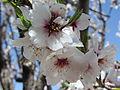 شکوفه بادام کاغذی.JPG