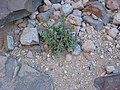 نبات العورور بوادي الاربعين بمحمية سانت كاترين بجنوب سيناء.JPG