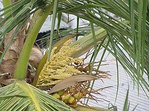 Hainuwele - Coconut flower