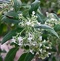二芒草屬 Bystropogon origanifolius v canariae -哥本哈根大學植物園 Copenhagen University Botanical Garden- (36996156095).jpg