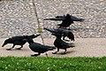 五鴉 Ravens - panoramio.jpg