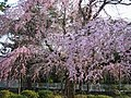 南禪寺之櫻花 Cherry Blossoms at Nanzenji - panoramio.jpg