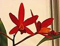 卡特蘭 Cattleya Shinfong Little Rouge -台南國際蘭展 Taiwan International Orchid Show- (39926099315).jpg