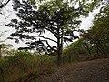 古木参天 - Ancient Pines - 2012.04 - panoramio.jpg