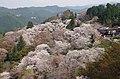 吉野山下千本の桜 View of Shimo-sembon of Yoshinoyama in spring 2014.4.09 - panoramio.jpg